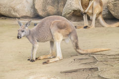 Red Kangaroo, Macropus Rufus Royalty Free Stock Photography