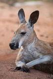 Red kangaroo Macropus rufus. Wildlife animal Royalty Free Stock Photo