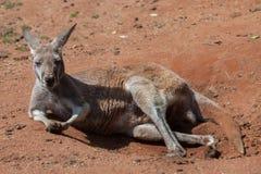 Red kangaroo (Macropus rufus). Stock Images