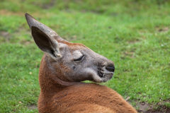 Red kangaroo Macropus rufus. Wildlife animal Stock Photography