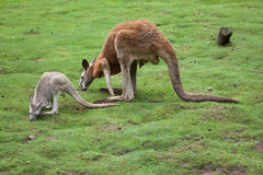 Red kangaroo Macropus rufus. Wildlife animal Royalty Free Stock Photos