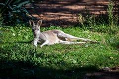 Red kangaroo -  macropus rufus Royalty Free Stock Images