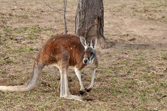 Red kangaroo in meadow Royalty Free Stock Photo