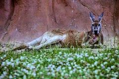 Red kangaroo, Megaleia rufa Royalty Free Stock Image