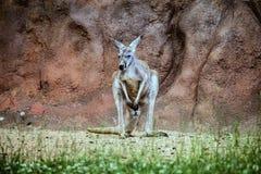 Red kangaroo, Megaleia rufa Stock Image