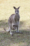 Red Kangaroo mother and joey in Australia Stock Photography