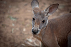 Red kangaroo . Royalty Free Stock Photo