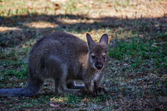 Red kangaroo Stock Images