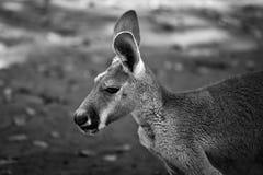 Red kangaroo royalty free stock image