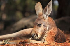 Red Kangaroo at rest Royalty Free Stock Image