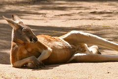 Red Kangaroo Resting Stock Images