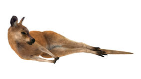 Red Kangaroo Resting Royalty Free Stock Photos