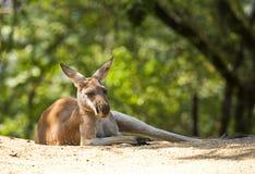 Red kangaroo. Sort : Macropus rufus. Red kangaroo in the nature Royalty Free Stock Images