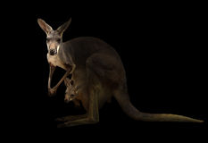 Red kangaroo standing in the dark Royalty Free Stock Photography