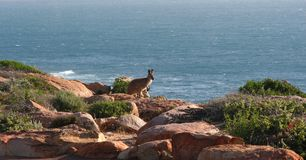 Red Kangaroo By the Coast royalty free stock images