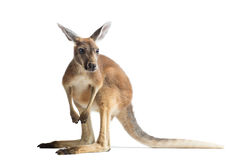 Red Kangaroo on White Stock Images