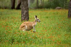 Red kangaroo in the wildflowers. A kangaroo with black and white markings on its face - the trademark of a red kangaroo  macropus rufus. It is snacking on some Stock Photo