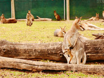 Red kangaroo and a young joey Royalty Free Stock Image