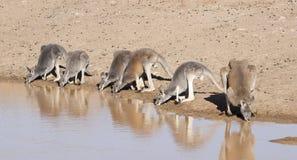 Red Kangaroos drinking at  a waterhole Stock Photos