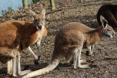 Red kangaroos Royalty Free Stock Image