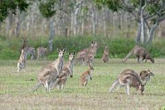 Red kangaroos Royalty Free Stock Photography
