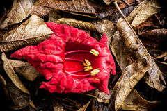 Red Kigelia Flower. The red flower of the African Sausage Tree, Kigelia africana on brown leaves Stock Photo