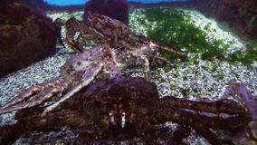 Red king crab in marine aquarium stock footage video. Red king crab in a marine aquarium stock footage video stock footage