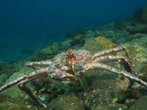 Red King Crab posing Royalty Free Stock Image