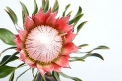 Red king protea plant on white background stock image