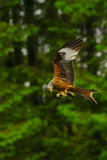Red Kite (Milvus milvus) feeding on the wing. A Red Kite (Milvus milvus) eats on the wing in front of forest conifers at Bwlch Nant Yr Arian, Ceredigion, West Royalty Free Stock Photo