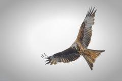 Red Kite (Milvus milvus) whilst airborne, passes c Stock Image