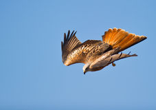 A Red Kite´s nosedive Royalty Free Stock Photos