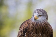 Red Kite Royalty Free Stock Photos