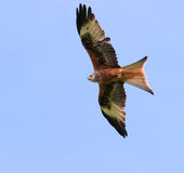 The Red Kite. Red Kite in flight on a clear blue sky day Royalty Free Stock Images