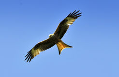 Red Kite. Bird in flight with blue sky background Royalty Free Stock Photo