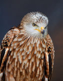 Red kite. Portrait of a red kite at stoneham barns suffolk england Royalty Free Stock Image