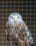 Red Kite Stock Images