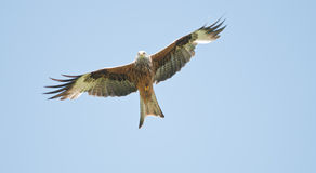 Red Kite. A wild Red Kite in flight Royalty Free Stock Image