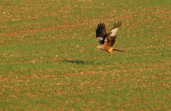 Red kite. View of a red kite on the ground in a field just taking off Stock Images