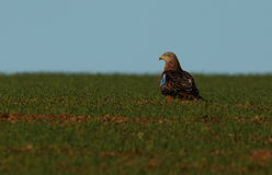Red kite. View of a red kite on the ground in a field Stock Photo
