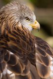 Red Kite Back Royalty Free Stock Photography
