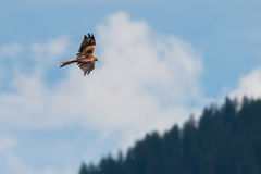 Red kite bird flies hight above over forest royalty free stock images