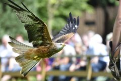 Red kite Bird. Stock Image