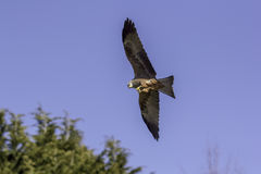 Red kite bird of prey feeding on the wing Royalty Free Stock Image