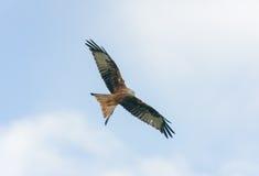 Red Kite. A Red Kite bird of prey, taken in Argaty, Scotland Royalty Free Stock Photography