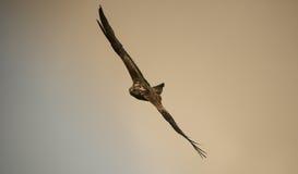 Red Kite Stock Image