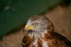 Red kite Stock Photo