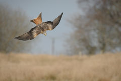 Red Kite in a dive. Royalty Free Stock Photography