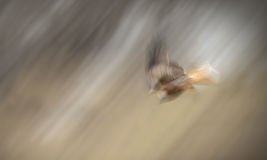 Red Kite Diving Royalty Free Stock Photo