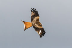 Red Kite. Dorsal/top-side view of Red Kite in flight royalty free stock photos